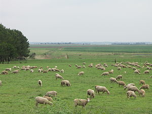 English: A sheep farm in Gauteng, South Africa
