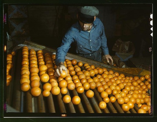 Co-op orange packing plant, Redlands, Calif. Workman is doing the preliminary sorting, picking out the discards. Santa Fe trip  (LOC)